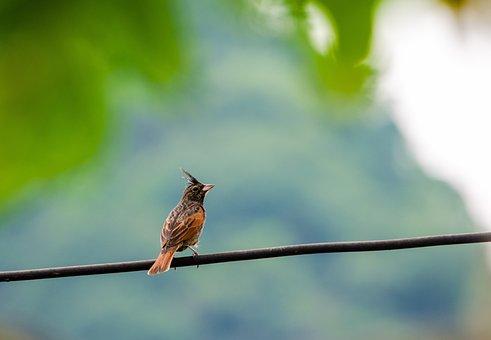 Bird, Resting, Feather, Animal, Beak, Crested Bunting