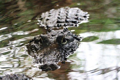Crocodile, Reptile, Water, Predator, Eye, Dangerous