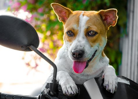 Animal, Pet, Pets, Dog, Dogs, Big, Petasia, Petvietnam