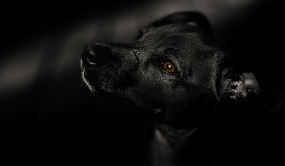 Dog, Black, Pet, Animal, Domestic, Young, Puppy