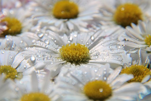 Daisy, Drop Of Water, Meadow, Field, Pick