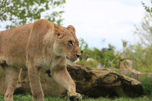 Lioness, Zoo, Beauval, Predator, Africa, Feline