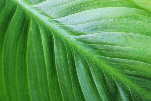 Green, Nature, Floral, Plant, Calla, Garden, Flora