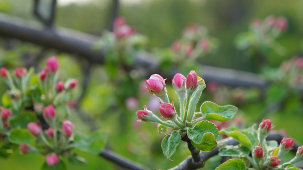 Nature, Plants, Tree, Fruit, Apple, Branch, The Buds