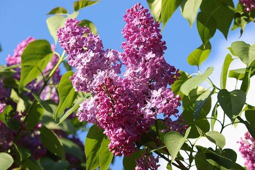 Lilac, Syringa, Fragrant, Summer, Pink, Garden, Violet