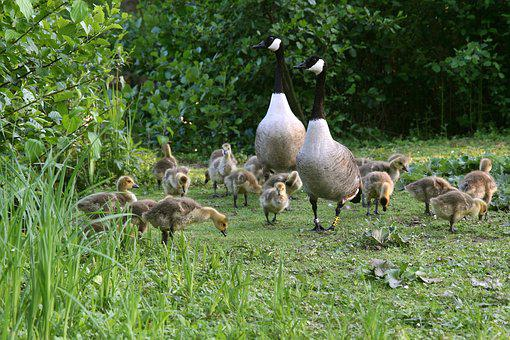 Geese, Canada Geese, Chicks, Goslings, Goose Family