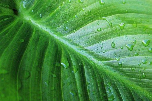 Green, Water Drop, Nature, Floral, Plant, Calla, Garden