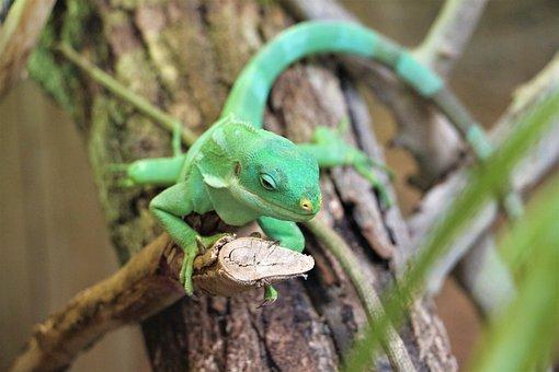 Iguana Of Fiji Islands, Iguana, Zoo, Beauval, Reptile
