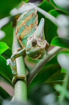 Chameleon, Green, Animal, Lizard, Insectivore, Nature