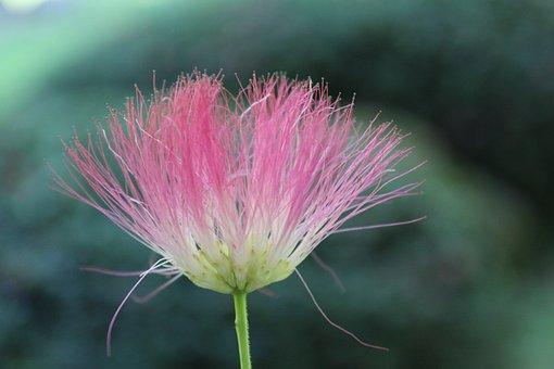 Silk Tree, Albizia Julibrissin, Japan, Japanese, Flower