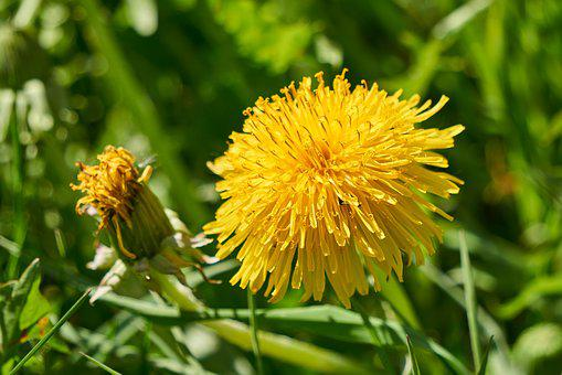 Dandelion, Bloom, Blossom, Bloom, Yellow, Nature