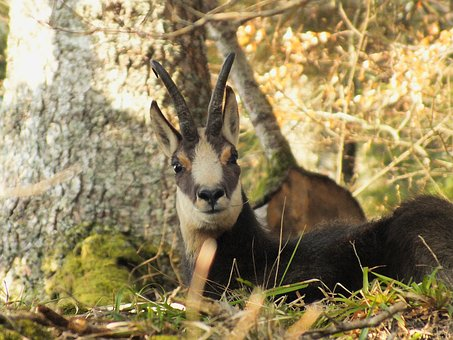 Chamois, Forest, Wild, Nature