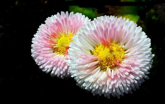 Daisies, Flowers, Pink, Spring, Nature, Garden, Macro