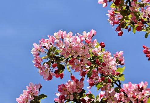 Ornamental Apple Tree, Embellishment, Ornamental Fruit