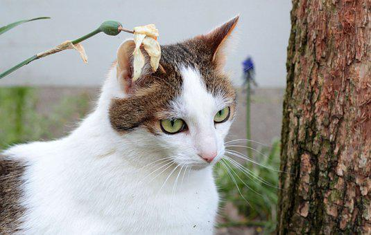 Cats, White-cypers, Garden, Outdoor Play, Pet