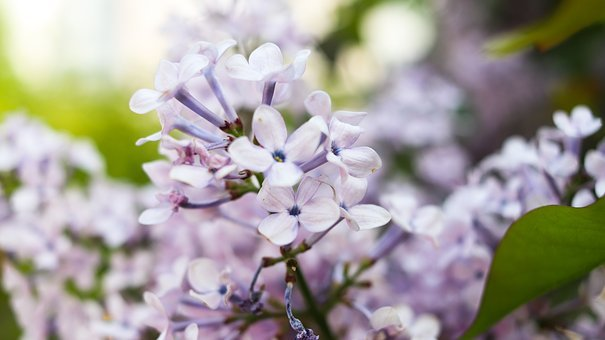 Lilac, Can Water The Flowers, Spring, Violet, Petal