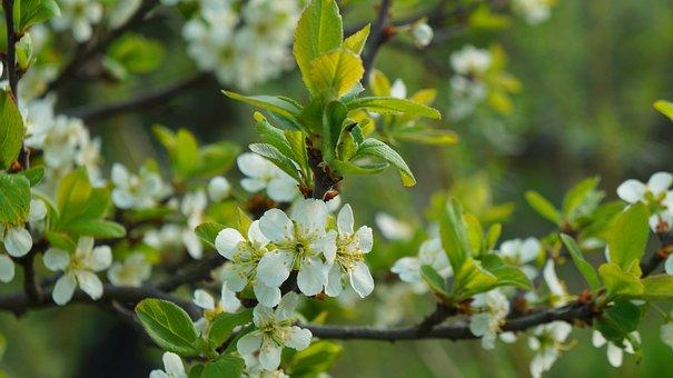 Nature, Plants, Tree, Fruit, Branch, Flowering, White