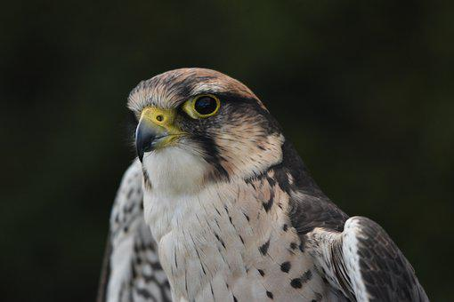 Merlin, Falcon, Bird, Raptor, Wilderness, Hunting