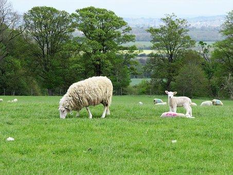 Sheep, Lamb, Wool, Farm