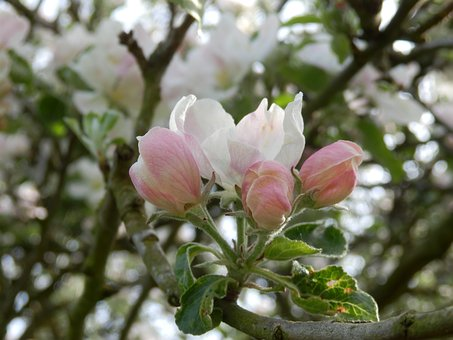 Apple, Blossom, Tree, Spring, Summer, Pink, White