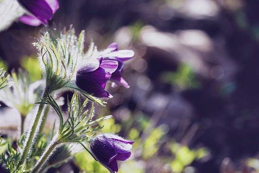 Pasqueflower, Flower, Blossom, Bloom, Violet