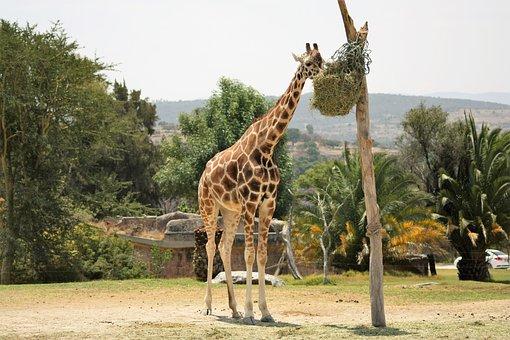 Giraffe, Animal, Africa, Safari, Mammal, Wildlife, Zoo