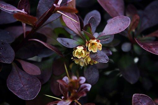 Ornamental Shrub, Bush, Blossom, Bloom, Yellow, Red