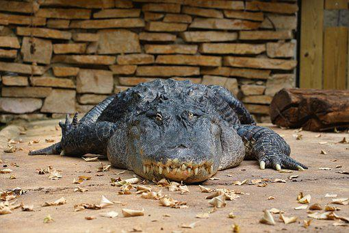 Crocodile, Reptile, Predator, Zoo, Beauval, Leaves