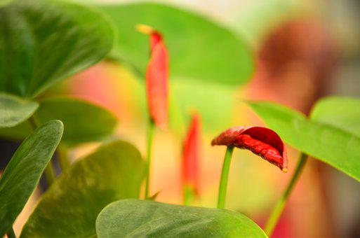 Anthurium, Flower, Red, Nature, Green, Bright, Hope