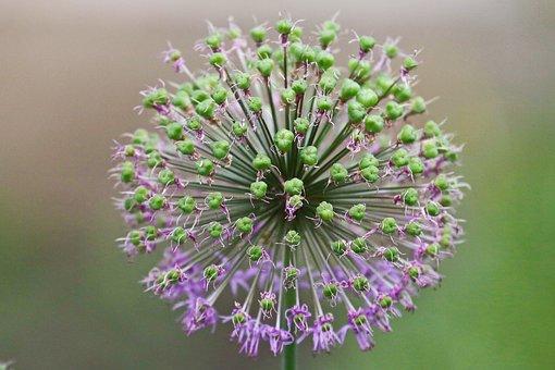 Leek, Flower, Blossom, Bloom, Plant, Nature