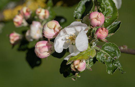Apple Tree Blossom, Blossom, Bloom, Apple Tree, Branch