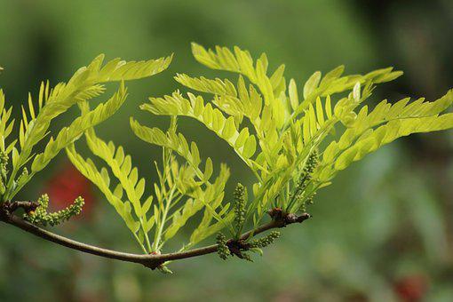 Blossom, Bud, Honey Locust, Leaves, Spring, Branch