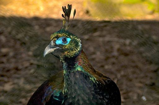 Gloss Pheasant, Himalayas, Zoo, Colorful, Graceful