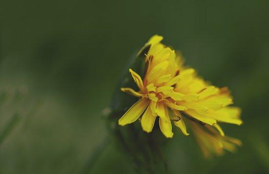 Dandelion, Common Dandelion, Taraxacum Sect