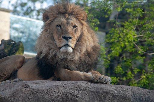 Lion, Animal, Dresden, Nature, Wilderness, Zoo