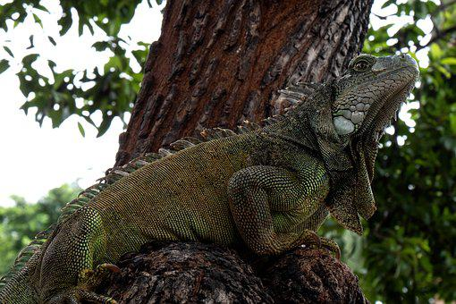 Ecuador, Iguana, Reptile, Lizard
