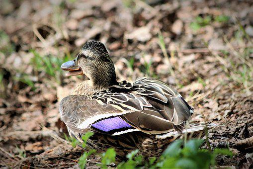Female Duck, Bird, Wildlife, Sitting, Camouflage