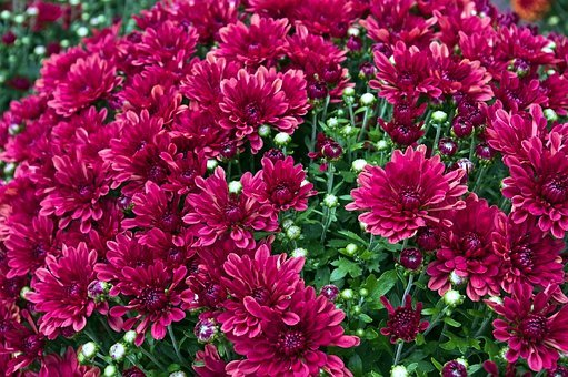 Chrysanthemums, Mums, Flowers, Colorful, Plant, Floral