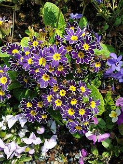 Flowers, Primrose, Purple-yellow, Early Bloomer, Plant