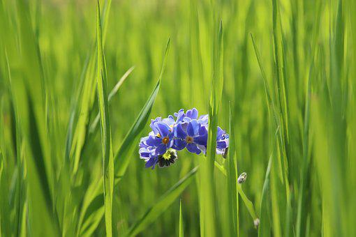 Meadow, Grass, Forget Me Not, Flowers, Blue Flowers