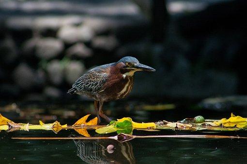 El Salvador, Garza Green, Birds, Nature, Fly, Feathers