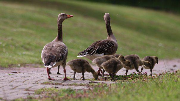 Geese, Chicks, Spring, Nature, Cute, Young Bird, Family