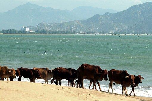 Sea, Vietnam, Vacations, Beach, Summer, Cows, Green