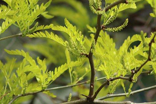 Blossom, Honey Locust, Bud, Blatter, Tree, Spring