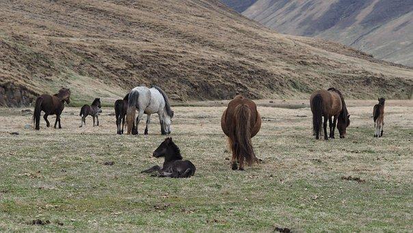 Horse, Iceland, Landscape, Animal, Nature, Pasture