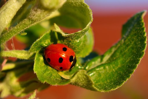 Ladybug, Aphid, Macro, Insect, Insects, Aphids