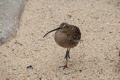 Bird, Sand, Kiwi