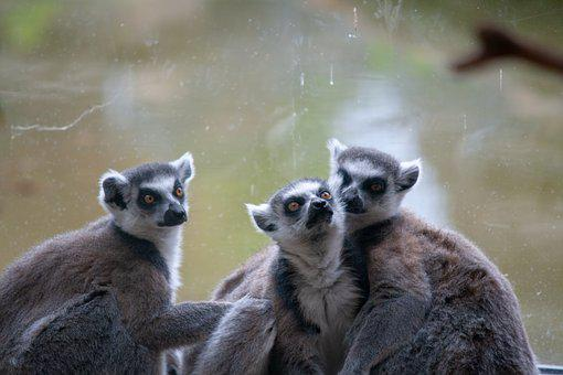 Lemur, Monkeys, Primate, Family, Zoo, Enclosure