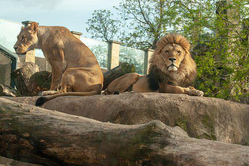 Lions, Lion, Female, Wild, Cate, Wild Ate, Background