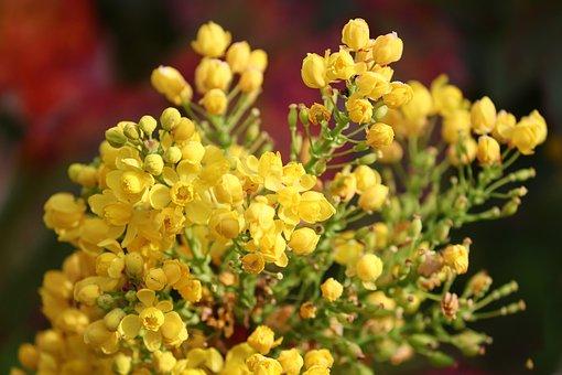 Flowers, Bud, Mahogany, Mahonia Aquifolium